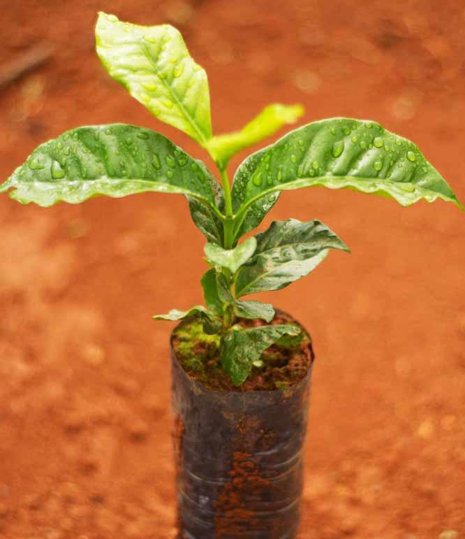 Einzelner Kaffee Setzling auf rotbraunem Untergrund mit Tau auf den zwei kleinen Blättern der Pflanze