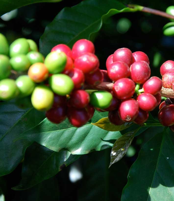 Rote und grüne Kaffeekirschen in Nahaufnahme während der Kaffeeernte am Kaffeestrauch und mit Blättern im Hintergrund