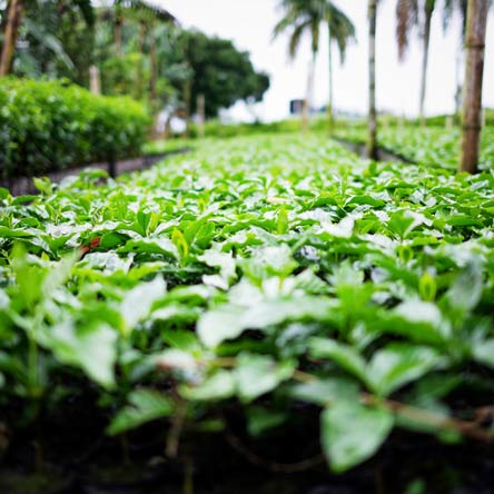 Viele Kaffeesetzlinge auf der Kaffeeplantage und Bananenbäume im Hintergrund, die Schädlingsbefall vorbeugen, sowie dem für die Pflanze gefährlichen Kaffeeröst